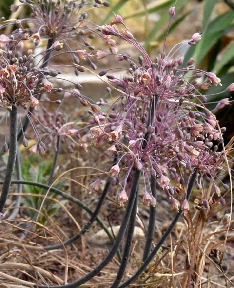 Allium SP. Chios_4823 – Copy
