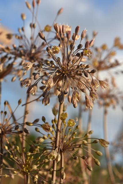 Allium autumnale_7197 – Copy