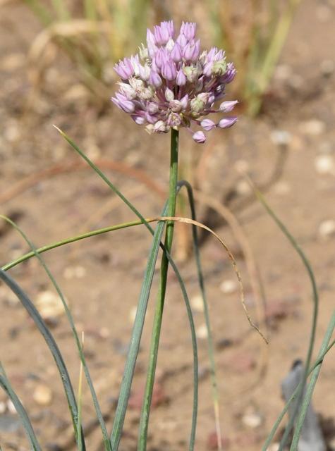 Allium rubellum – Copy (2)