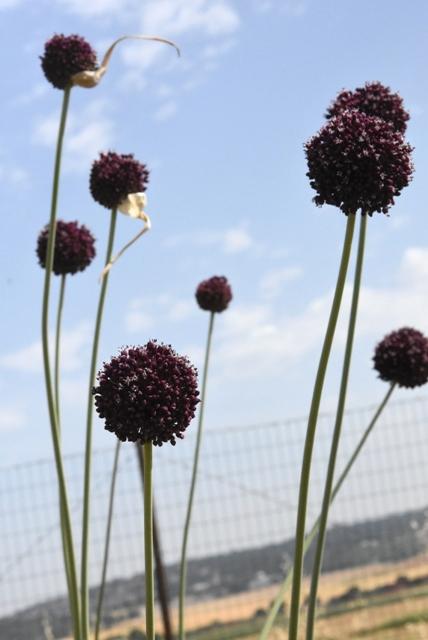 Allium truncatum_4807 – Copy
