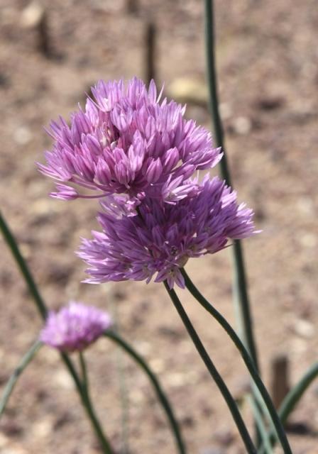 Allium umbilicatum_6780 – Copy