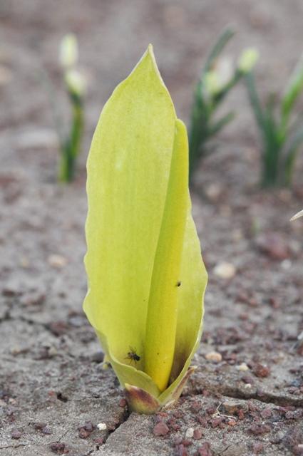 B. auraniticum – Copy