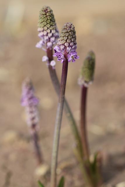 Barnardia numidica ex. Ibiza – Copy