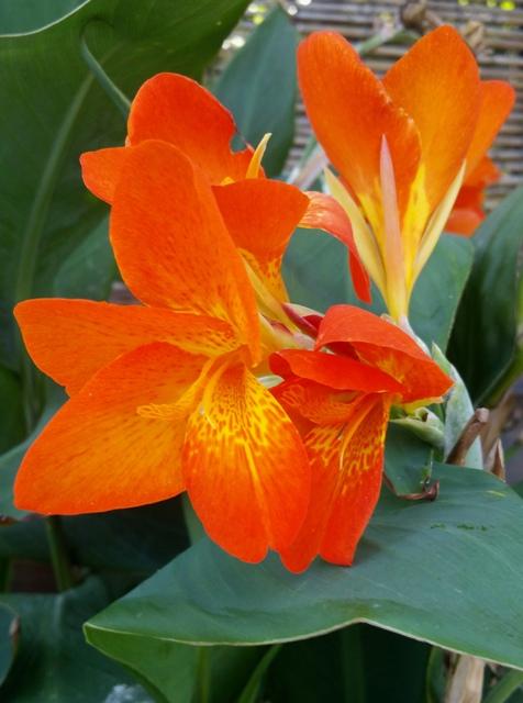 Canna x generalis 'Orange Punch' – Copy