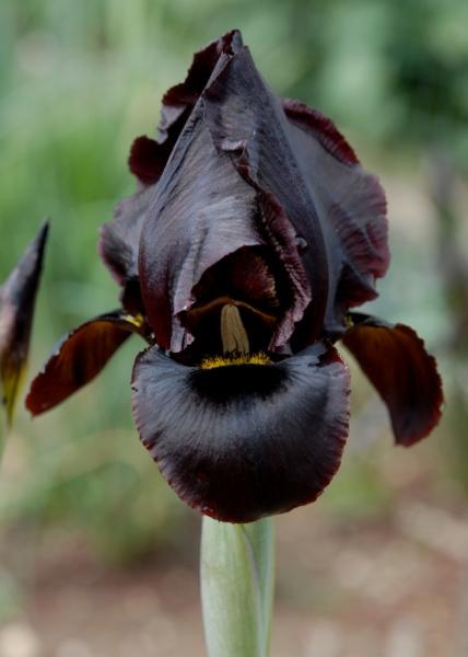 Iris atropurpurea – Copy