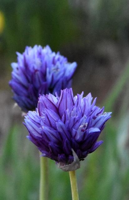 Allium ascalonicum – Copy