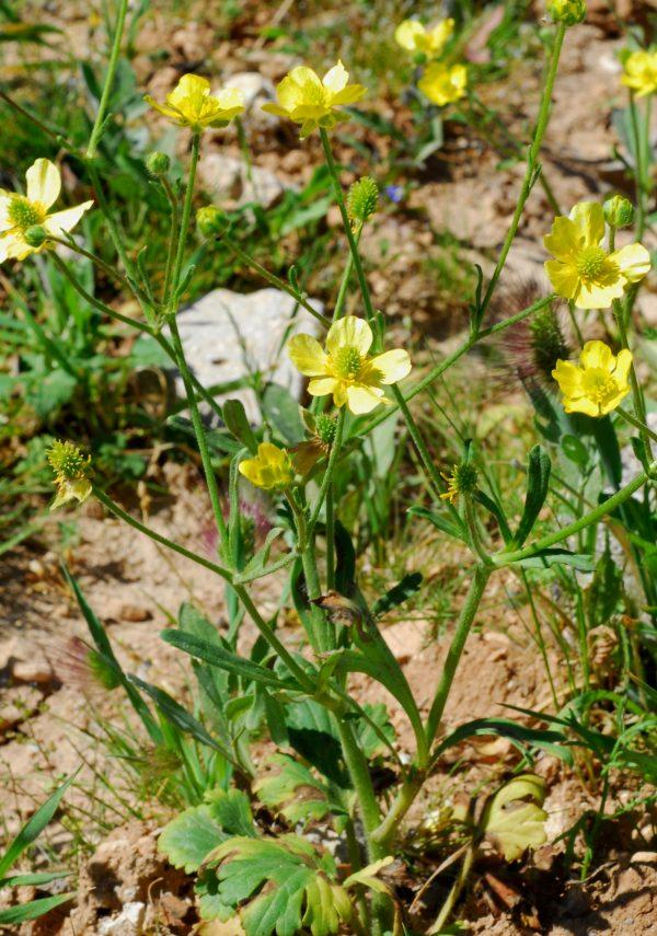 Ranunculus damascenus – Amman , Jordan