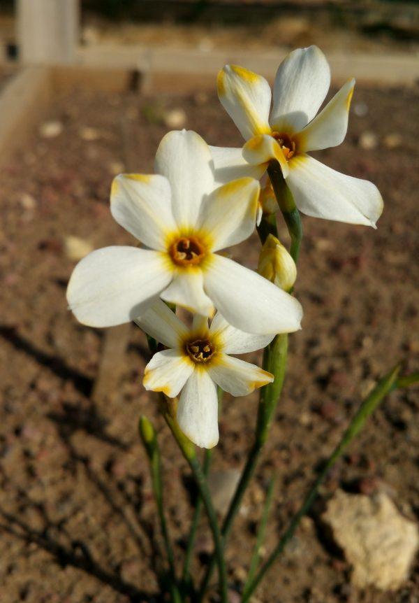 Narcissus obsoletus 'Orange'