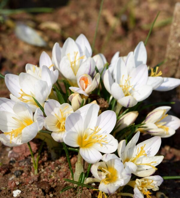 C. laevigatus